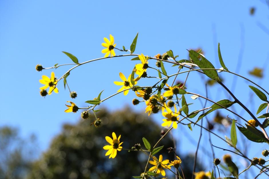 Schweinitz's Sunflower (Helianthus schweinitzii)