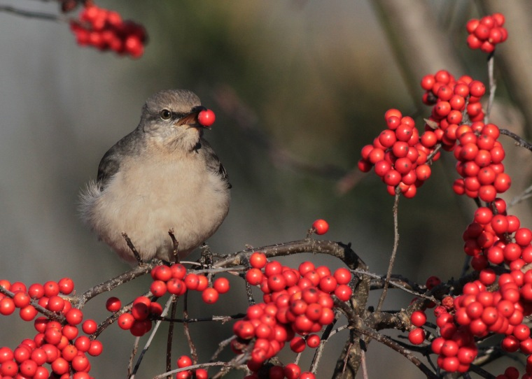 2015-07-ilex-verticillata-with-northern-mockingbird-by-will-stuart