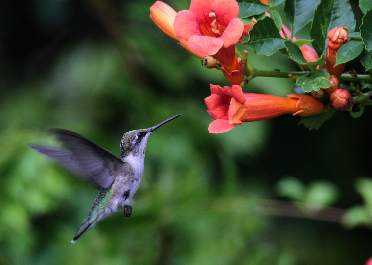 2015-13-a-campsis-radicans-with-hummingbird-by-will-stuart