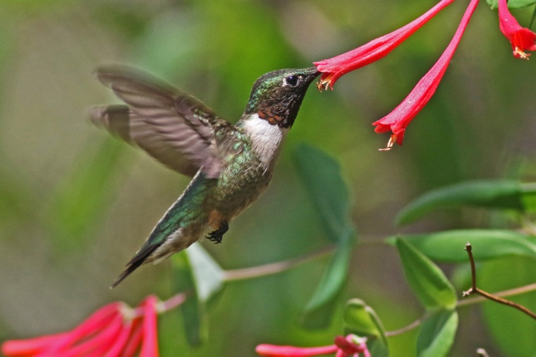 002-coral-honeysuckle-and-a-ruby-throated-hummingbird