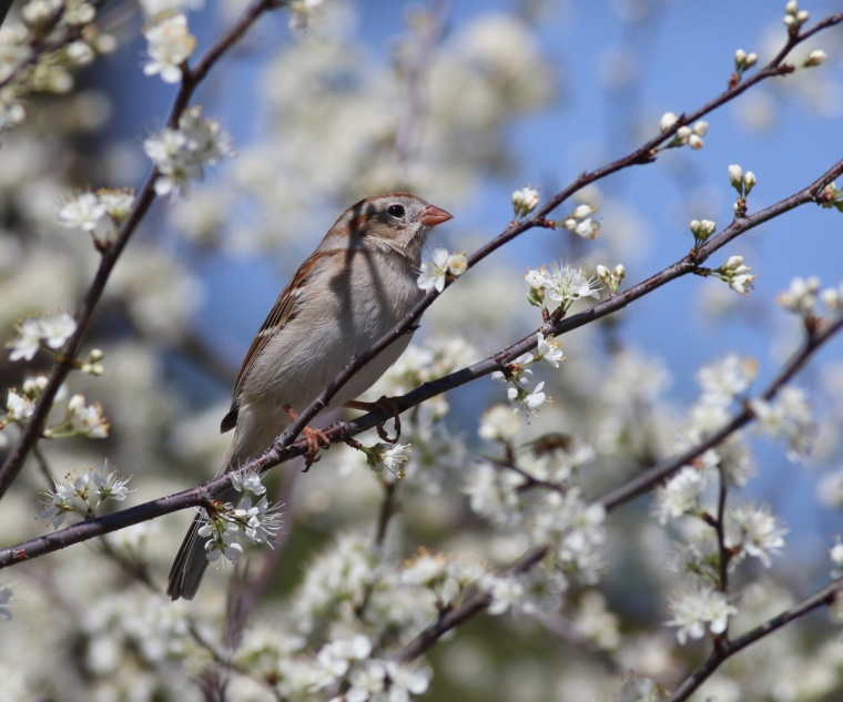 006-a-field-sparrow-in-a-chickasaw-plum