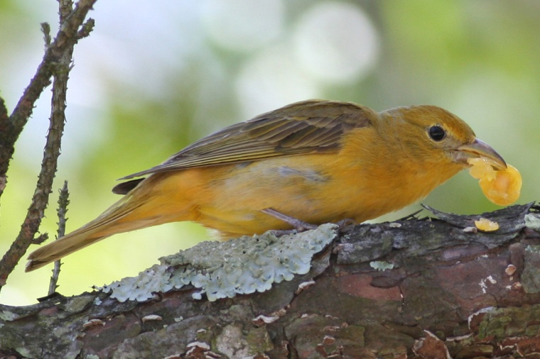 007-a-summer-tanager-female-snacking-on-a-chickasaw-plum