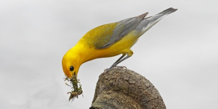 nesting-prothonotary-warbler-landsford-canal-state-park-from-113-6-x3-crop-2015