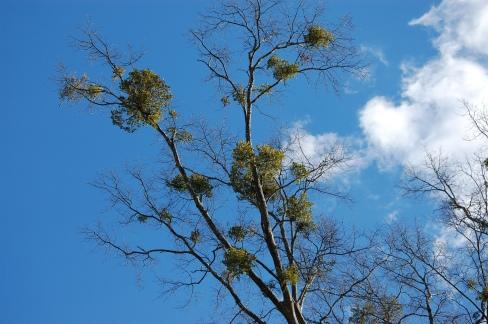 oak-mistletoe-2