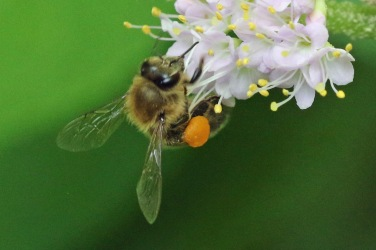 apis-mellifera-on-callicarpa-americana-from-1637