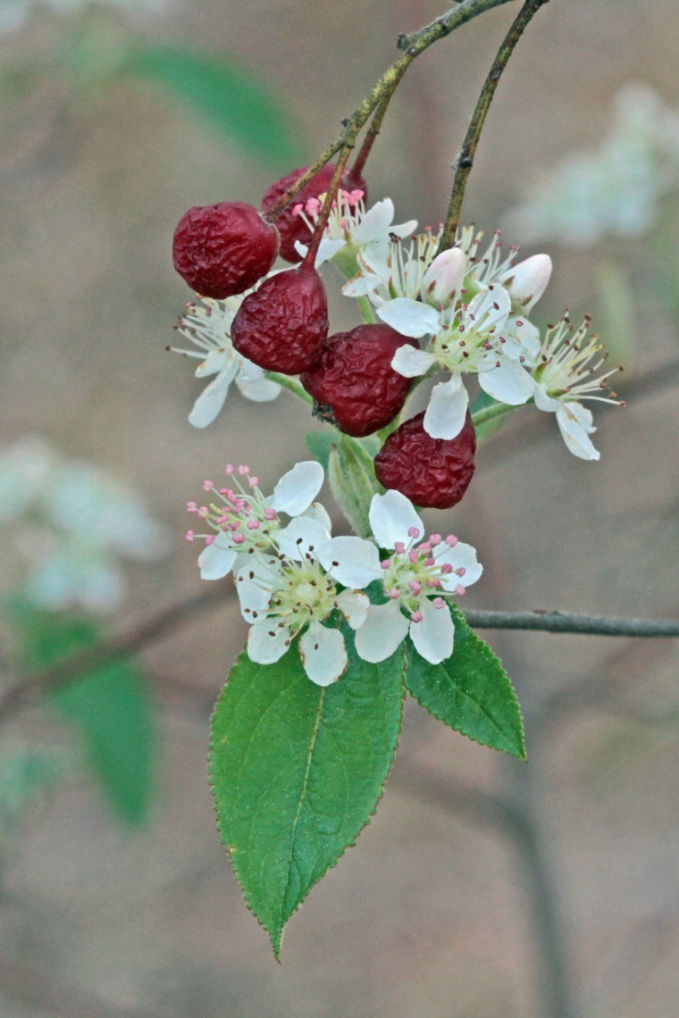 aronia-arbutifolia-from-32
