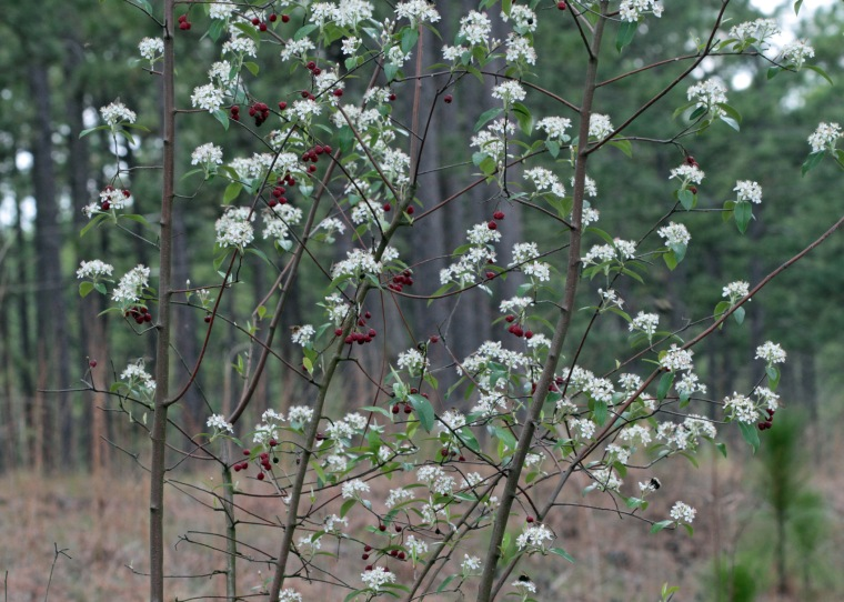 aronia-arbutifolia-large-view