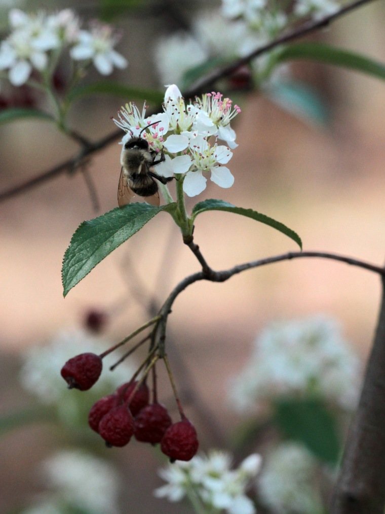 aronia-with-blueberry-bee