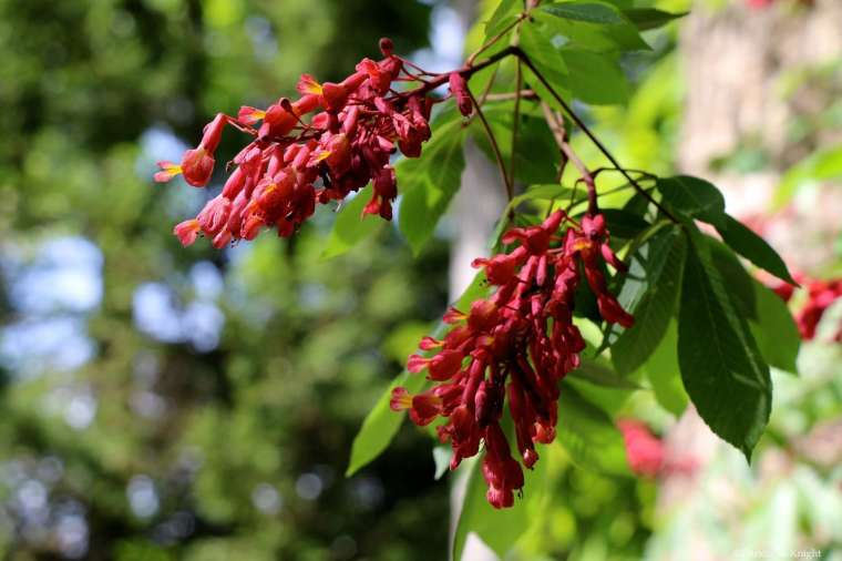 Aesculus pavia flowers