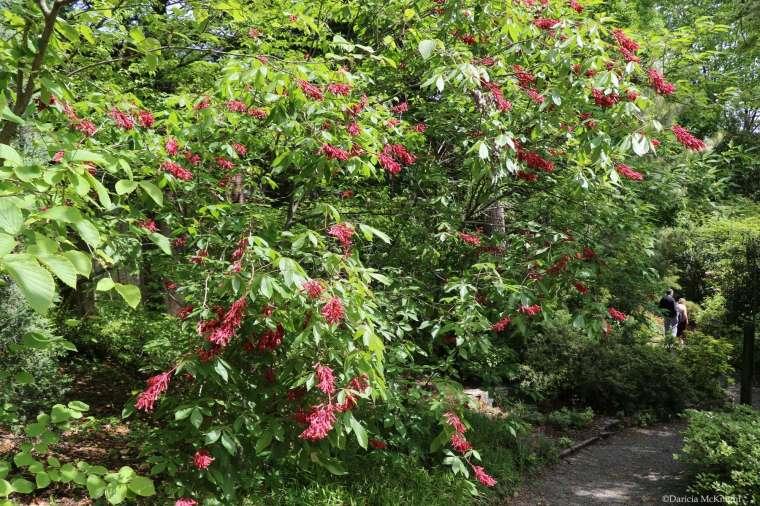 Aesculus pavia Susie Harwood Garden