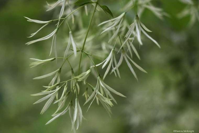 Chionanthus virginicus flowers