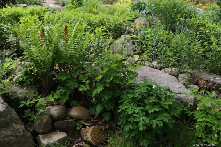 Mellichamp Native Terrace ferns and wildflowers