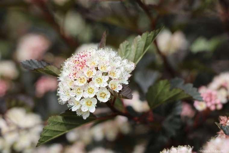 Physocarpus opulifolius flowers