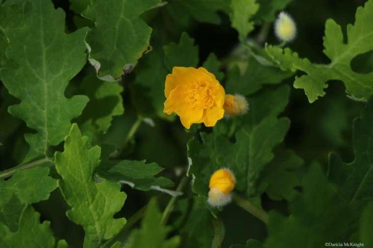 Stylophorum diphyllum Celandine Poppy
